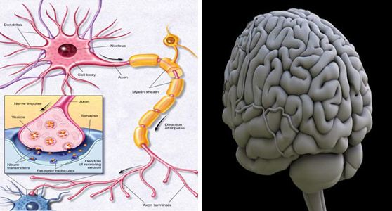 Single Brain Cell Can Store Information